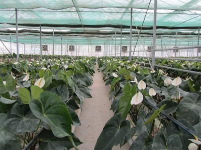 Doostwand iran Olsthoorn Greenhouse 9