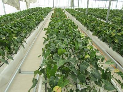 Tabriz iran Olsthoorn Greenhouse 14