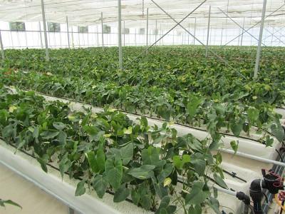 Tabriz iran Olsthoorn Greenhouse 16
